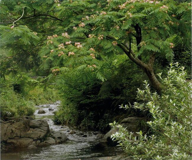 山本明子様 「合歓の花咲く飛鳥川」
