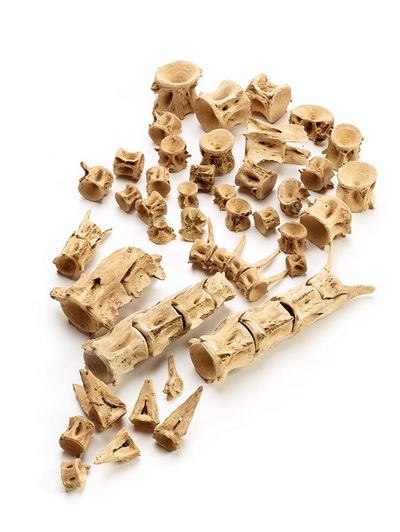 波怒棄館遺跡から出土したマグロの骨.jpg