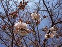 桜の開花状況 (咲き始め)