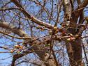 桜の開花状況(開花直前)