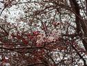 桜の開花状況(咲き始め)