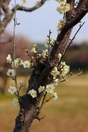 梅便り2019(三分~五分咲き)