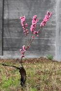 東院庭園のモモ(五分咲き)