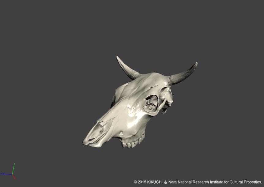 Cattle_M_cranium.jpg